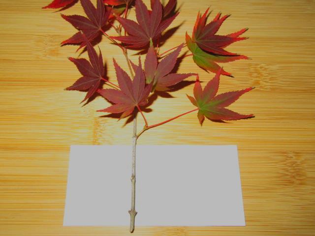 箸置き,もみじ,紅葉,かえで,楓