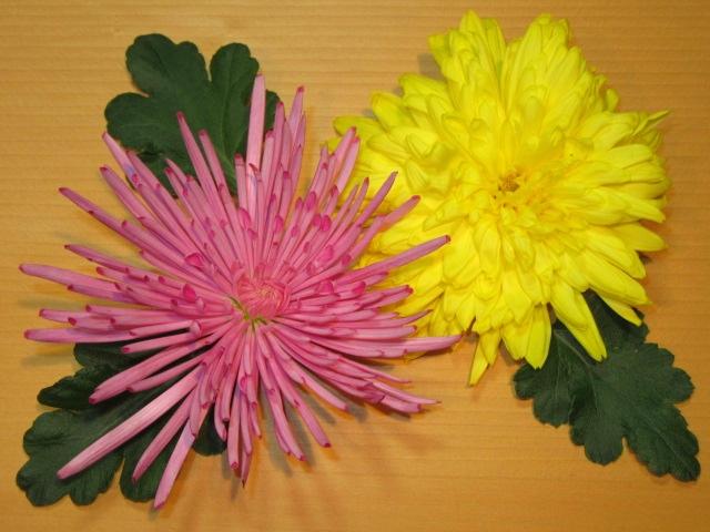食用菊,黄菊花と紫菊花